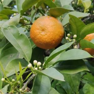 Foto de flor de azahar y naranja